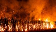 Farmer Burning Sugarcane Field