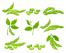 Soy Bean Plant With Ripe Pods And Green Leaves Vector Set
