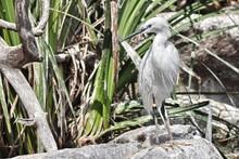 A Specimen Of Little Egret (Eg...