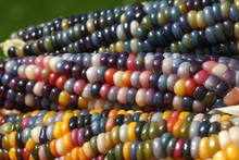 Drei Bunte Maiskolben Von Der Regenbogen Mais Pflanze, Einem überliefertem Saatgut Von Indianern