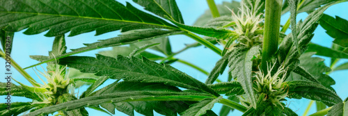 Cannabis plant, almost ready for harvesting, with white stigmas and trichomes be Fototapet