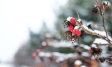 Snow-covered Red Berries And R...