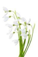 Spring Blossom Snowdrop Flower...