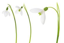 Snowdrop Set.Three Beautiful F...