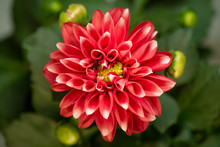 Blooming Red Flower. Beautiful...
