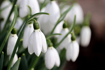 Fototapeta Do salonu Snowdrop flowers close up. Spring symbol blooming in the forest