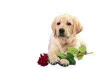 Labrador Puppy With Rose Flowe...