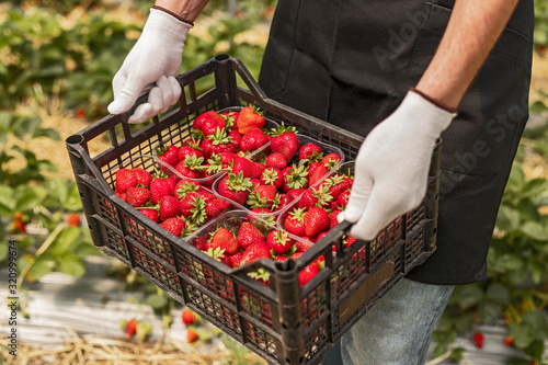 Fotomural Farmer carrying box with fresh strawberries