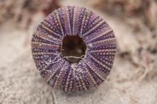 Sea Urchin Shell Top View