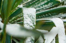Close Up Of Yucca Leaves With Thorns Covered With Snow.