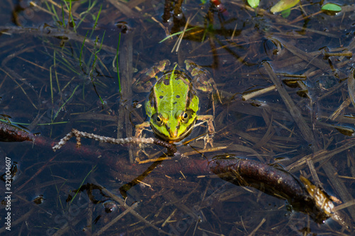 European tree frog (Hyla arborea) is swimming in its pond Canvas Print