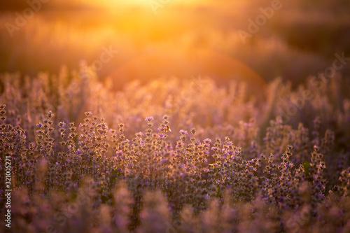 Fototapeta Lavender flowers at sunset in a soft focus, pastel colors and blur background. obraz