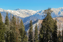 Tall Pine Trees Against Himalayan Mountains And Clear Sky