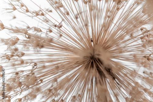 Allium, blume #321018247