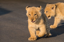 Baby Lion Cubs South Africa