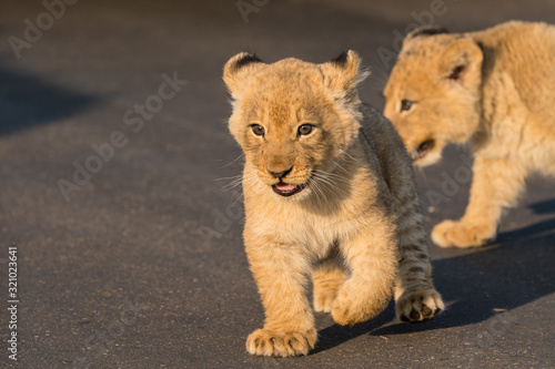 Photographie baby lion cubs South Africa