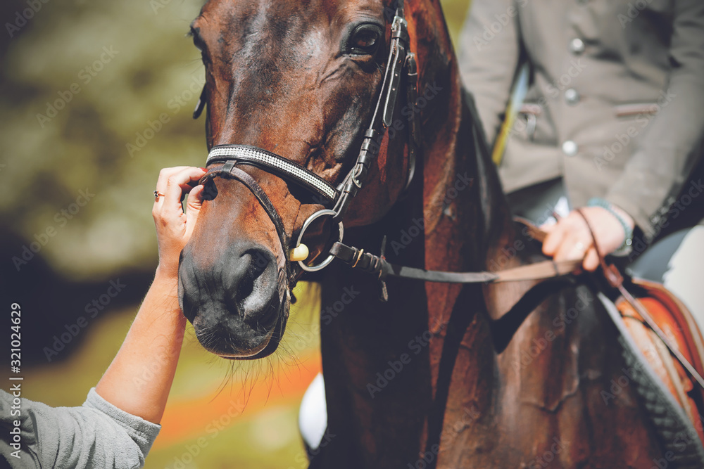 Fototapeta The muzzle of a beautiful, elegant Bay horse with a rider in the saddle and a groom adjusting the bridle with his hand on a Sunny summer day.