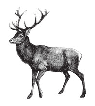Red Deer (Cervus Elaphus) / Vi...