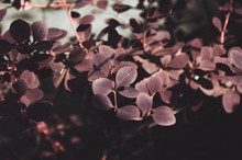 Leaves Of An Ornamental Shrub,...