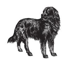 Newfoundland Dog / Vintage Ill...