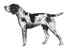 German Shorthaired Pointer / Vintage Illustration From Brockhaus Konversations-Lexikon 1908