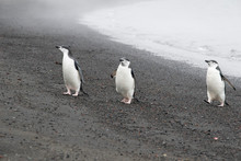 Penguins Resting On The Stony ...