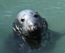 Grey Seal (Halichoerus Grypus)...