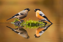 Pair Of Male And Female Eurasian Bullfinch, Pyrrhula Pyrrhula, Sitting Just Above Water Level With Their Reflection Mirrored On Surface. Two Cute Colorful Passerine Birds Drinking From Pond.