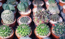 Group Of Cactus In Th...