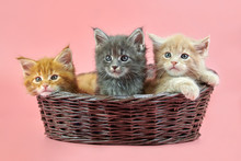 Three Maine Coon Kittens In Ba...