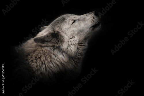 an ashen white polar wolf snout on a black background howls in the moonlight Wallpaper Mural