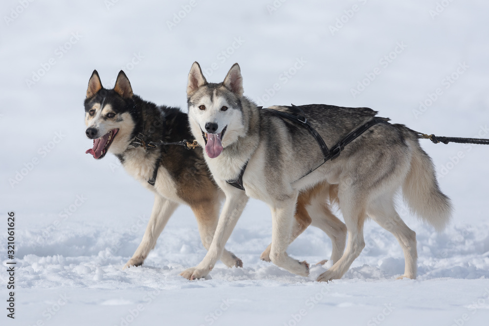 Fototapeta Siberian huskies and malamuts participating in the dog sled racing contest, Tusnad, Romania