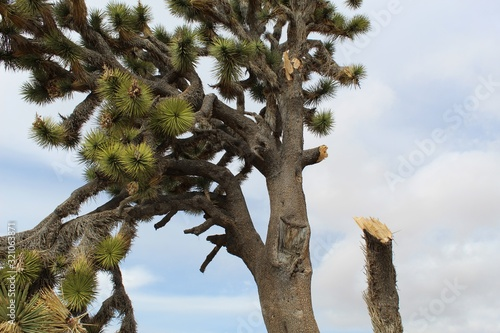 Photo High in the Southern Mojave Desert of Joshua Tree National Park, branches of the Yucca Brevifolia, weighted by Winter snowfall, and aggravated by high winds, disengage, crashing to the Earth