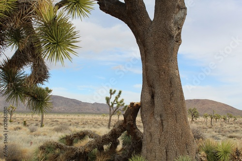 High in the Southern Mojave Desert of Joshua Tree National Park, branches of the Yucca Brevifolia, weighted by Winter snowfall, and aggravated by high winds, disengage, crashing to the Earth Wallpaper Mural