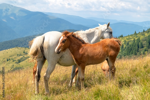 Naklejki konie   horses-with-a-foal-walking-in-the-mountains-on-a-meadow-on-a-warm-summer-day-natural-background
