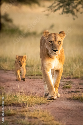 Lioness walks along sandy track with cub Canvas-taulu