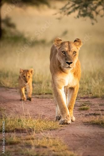 Fototapeta Lioness walks along sandy track with cub