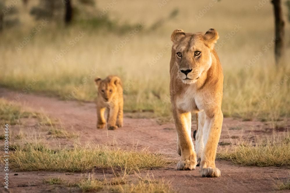 Fototapeta Lioness walks on sandy track with cub
