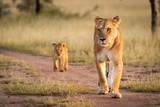 Fototapeta Sawanna - Lioness walks on sandy track with cub