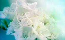 Bouquet Of White Freesias Closeup On Soft Tiffany Blue Green, Or Aqua Menthe And Phantom Blue Color Shades Background
