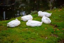 A Gaggle Of Geese Asleep On Gr...