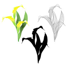 Calla Lily  Yellow  Flowers And Leaves   Herbaceous Perennial Ornamental Plants Natural Outline And Silhouette On A White Background  Vintage  Vector Illustration Editable Hand Draw