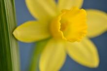 Close Up Of Spring Daffodil Fl...