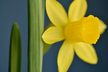 Close Up Of Spring Daffodil Flower