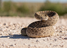 Texas Rattlesnake Curled Up Re...