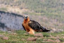 Bearded Vulture Or Lammergeier...