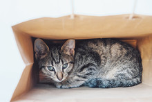 Young European Shorthair Cat Playing And Hiding In A Paper Bag.