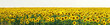 Leinwandbild Motiv Panorama Yellow field of flowers of sunflowers against a light, white sky