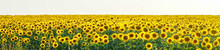 Panorama Yellow Field Of Flowe...