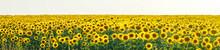 Panorama Yellow Field Of Flowe...